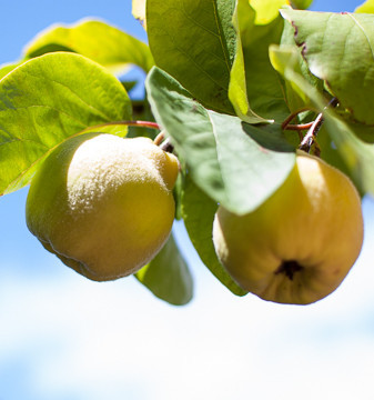 Quince Giant of Gascony