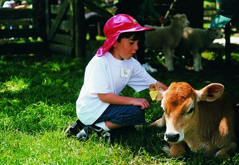 A boy patting a calf.