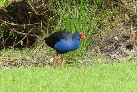 Pukeko standing near bush
