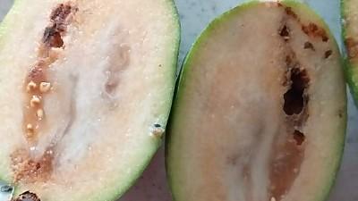 작년에 피조아를 잘라보면 거의 벌레가 먹었는지 썩어있었습니다. 혹시 경험 있으신분  계시면 무슴 약을 써야 할까요?