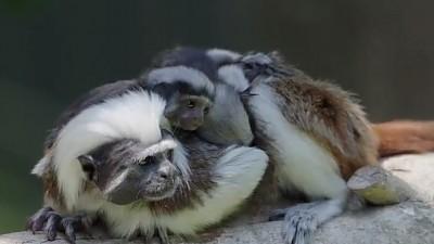 멸종 위기 원숭이 새끼 태어난 오클랜드 동물원
