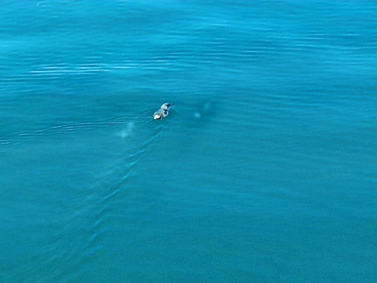 수영하는 펭귄